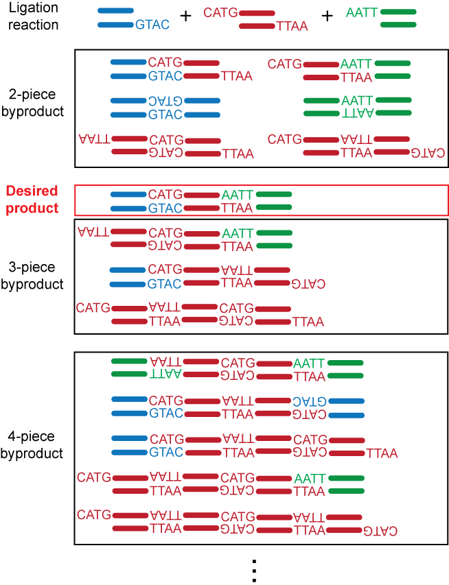 The Example Below Shows A 3 Piece Linear Ligation Reaction With Sticky Ends Generated By Two Type IIP Restriction Enzymes NcoI And EcoRI